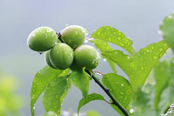 なぜ「梅雨」には「梅」の漢字を?「梅雨」の意味と由来とは | くらしと