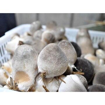 【送料無料】日本ふくろ茸ファーム (群馬)国産ふくろ茸(冷凍) 1kg