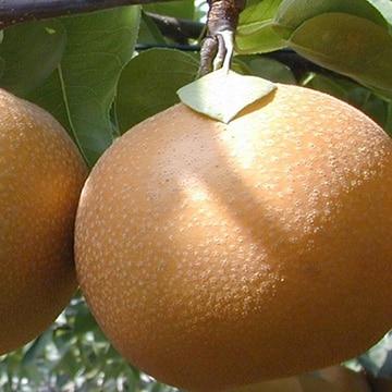 JA全農いばらき 茨城の赤梨 あきづき梨 約5kg